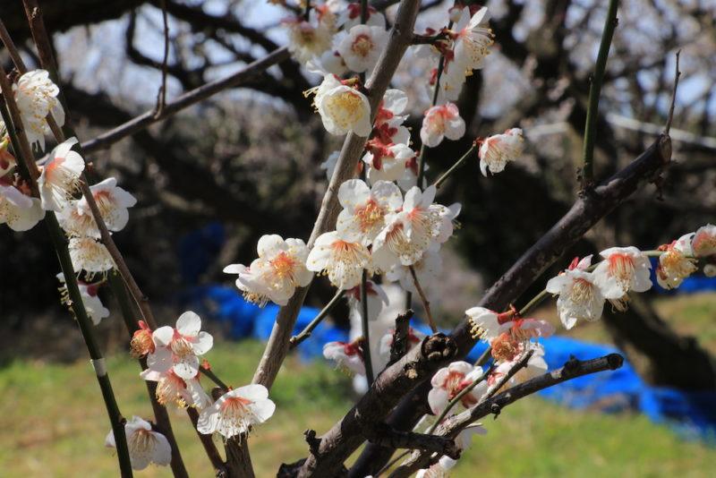 梅の花。南部梅林