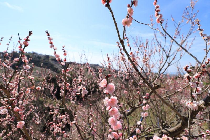 南部梅林の梅