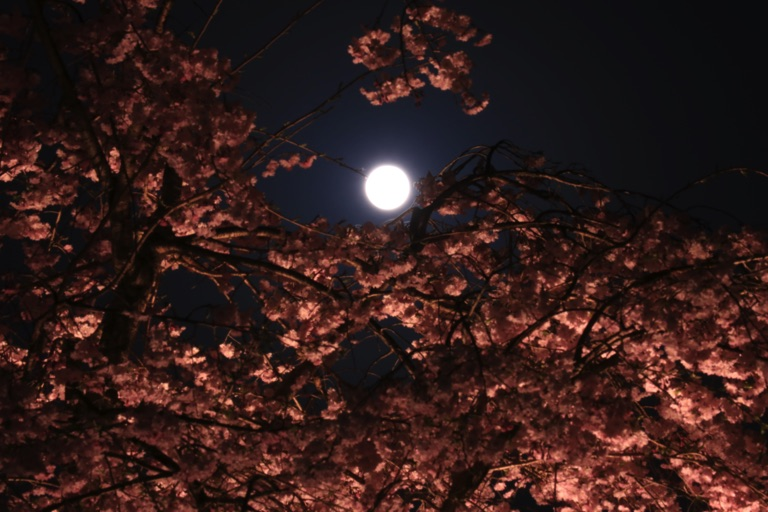 三井寺。夜桜と満月