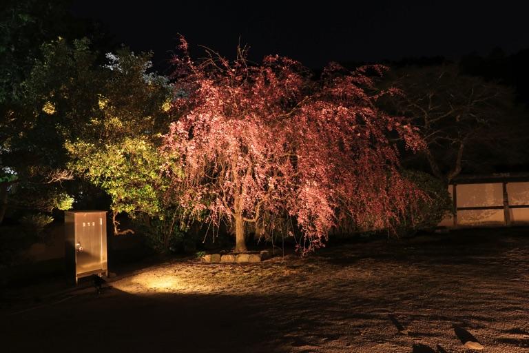 三井寺。枝垂れ桜のライトアップ