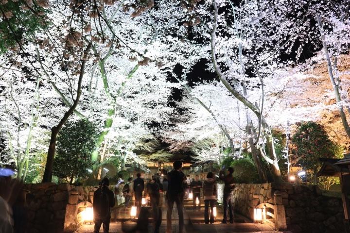 三井寺の夜桜