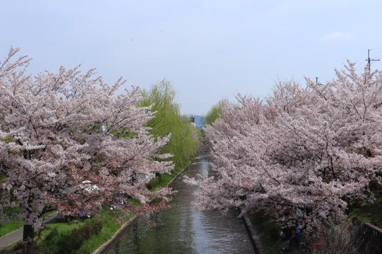京都伏見の桜