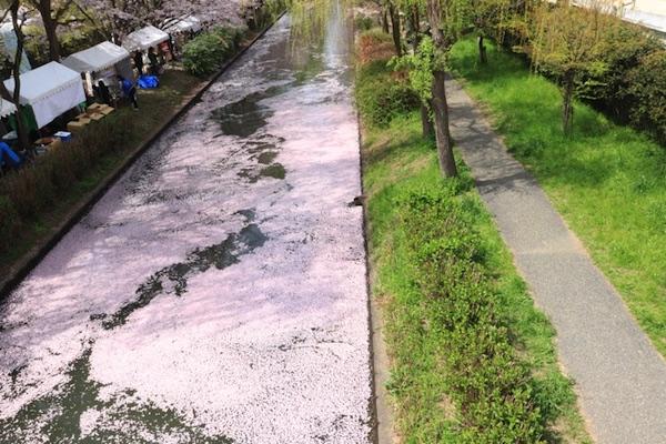 京都伏見の桜。高瀬川に浮かぶ桜の花びら