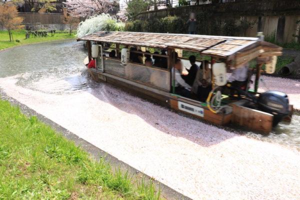 京都伏見の桜。屋形船と桜の花びら