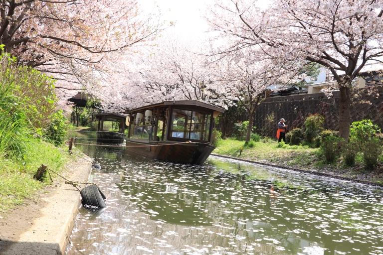 京都伏見の桜。屋形船