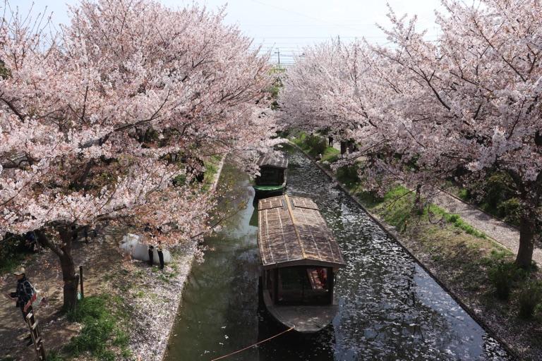 京都伏見の桜と屋形船