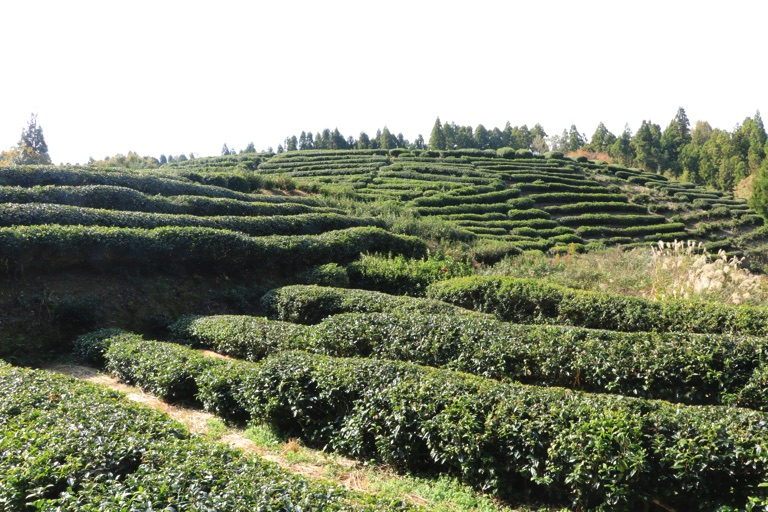 鶏足寺 茶畑