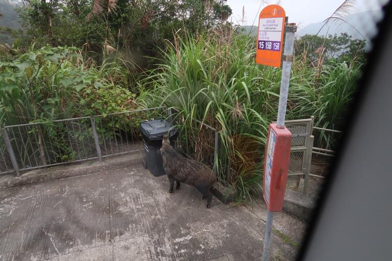 香港でイノシシに遭遇